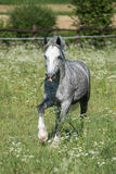 Gypsy Cob at canter. Gypsy Cob with blue eye at canter in a field stock images