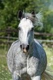 Gypsy Cob at canter. Gypsy Cob with blue eye at canter in a field royalty free stock images
