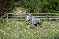 Gypsy Cob at canter. Gypsy Cob with blue eye at canter in a field royalty free stock photography