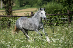 Gypsy Cob at canter. Gypsy Cob with blue eye at canter in a field royalty free stock photos