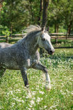 Gypsy Cob at canter. Gypsy Cob with blue eye at canter in a field stock photos