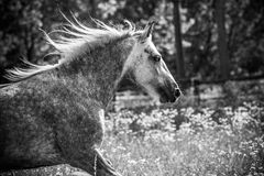 Gypsy Cob at canter. Gypsy Cob with blue eye at canter in a field in black and white royalty free stock photos