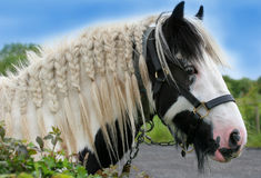 The Gypsy Horse. Face of a black and white gypsy cob horse with a bridle and with its mane plaited Royalty Free Stock Photography
