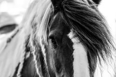 Free Gypsy Horse Black And White Close Up Stock Image - 157209841