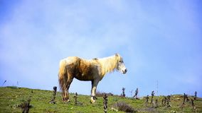 Gypsy horse grazing Royalty Free Stock Image