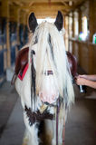 Gypsy horse with a moustache in the stable Stock Images