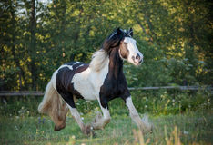 Gypsy horse. Young gypsy horse walking in paddock royalty free stock photos