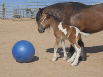 Gypsy mare and colt playing ball Stock Photo