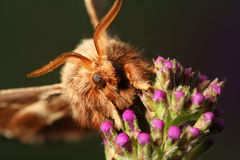 Gypsy moth Royalty Free Stock Photo