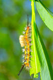 Gypsy Moth Stock Photo