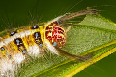 Gypsy Moth Caterpillar Royalty Free Stock Images