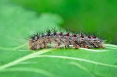 Gypsy moth caterpillar, crawling on young leaves Stock Photo