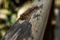 Gypsy Moth caterpillar Stock Photo