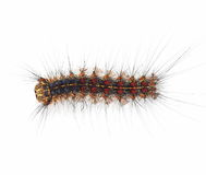 Gypsy moth caterpillar isolated on white. Gypsy moth caterpillar (Lymantria Dispar) isolated on white background Stock Photos