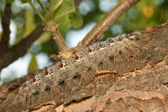 Gypsy moth caterpillar (Lymantria Dispar) Royalty Free Stock Photo