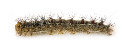 Gypsy moth caterpillar - Lymantria dispar Royalty Free Stock Photography