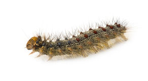 Gypsy moth caterpillar - Lymantria dispar Stock Image