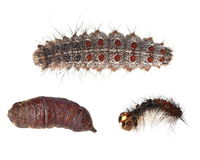 Gypsy moth caterpillar and pupa. Collection Caterpillar Larval Stage of  Butterfly, Preparing to Pupate, Gypsy moth caterpillar (Lymantria Dispar) isolated on Royalty Free Stock Photos