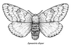 Gypsy moth illustration, drawing, engraving, ink, line art, vector. Illustration, what made by ink and pencil, then it was digitalized Royalty Free Stock Photos
