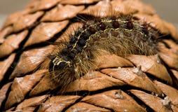 Gypsy Moth Larvae Stock Image