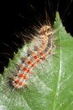 Gypsy moth / Lymantria dispar Stock Photo