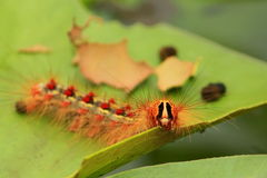 Gypsy moth / Lymantria dispar Royalty Free Stock Photography