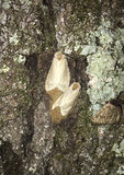 Gypsy Moths Laying Eggs Stock Photo