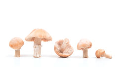 Gypsy mushroom Royalty Free Stock Photos