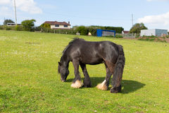 Gypsy traveller pony with long tail and hairy feet Royalty Free Stock Photo