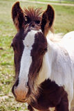 Gypsy Vanner foal. A portrait picture of a baby Gypsy Vanner horse Stock Photos