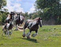 Gypsy Vanner horse herd. Herd of Gypsy Vanner (Irish Cob, Gypsy Cob) horses running down a hillside stock photo