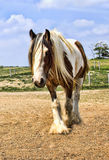 Gypsy Vanner Horse Royalty Free Stock Photo
