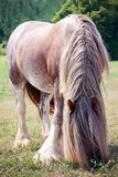 Gypsy Vanner Horse Royalty Free Stock Images