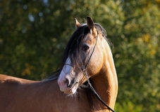 Gypsy Vanner Horse stallion portrait Royalty Free Stock Images