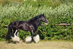 Gypsy Vanner Horse stallion portrait Stock Image