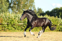 Gypsy Vanner Horse stallion runs Royalty Free Stock Photography