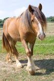 Gypsy Vanner Horse Royalty Free Stock Photo