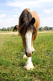 Gypsy Vanner Horse. A gypsy vanner horse walking out in a field Stock Image