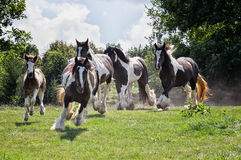 Gypsy Vanner Horses. Gypsy Vanner or Irish Cob horses running down hillside toward the camera.  Backlit image Royalty Free Stock Images
