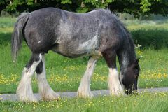 Gypsy vanner mare. This mare was in a common near Hemel Hemstead Royalty Free Stock Photos