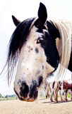 Gypsy Vanner Profile Royalty Free Stock Photo