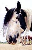 Gypsy Vanner Profile Royalty Free Stock Photo