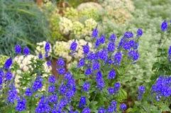 Gypsyweed, Veronica crinita Royalty Free Stock Photography