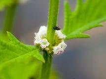Gypsywort - detalhe de um espécime de florescência Imagem de Stock