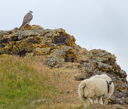 Gyr Falcon Royalty Free Stock Image