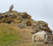 Gyr Falcon Royalty Free Stock Image