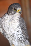Gyr falcon Royalty Free Stock Photography