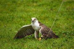 Gyr falcon Stock Photography
