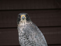 Gyr falcon Stock Images
