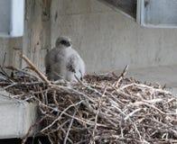 Gyr Falcon Nestling. Gyr Falcon Falco rusticolus nestling on a nest under a bridge in Nome, Alaska stock image